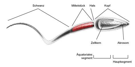 spermien unterm mikroskop